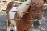 The dwarf horse Pipa