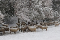 A great snowfall and sheep