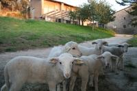 Los corderos pastan
