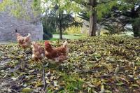 Las gallinas en el otoño