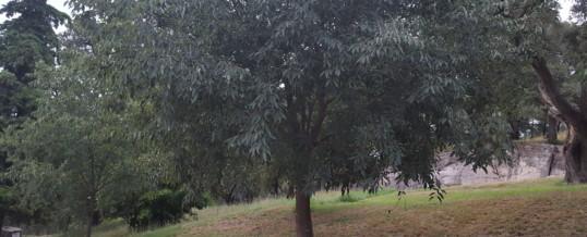 L'arbre Lledoner és singular